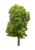 Geïsoleerde boom Stock Afbeelding