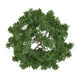 Geïsoleerde boom. Acer-saccharum esdoornbovenkant Stock Afbeeldingen