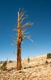 Geïsoleerde boom in de Hoge Siërra Bergen royalty-vrije stock fotografie