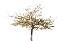 Geïsoleerde boom in de lente Stock Foto's