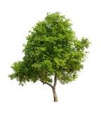 Geïsoleerde boom met groen blad op witte achtergrond Royalty-vrije Stock Fotografie