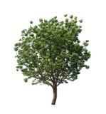 Geïsoleerde boom met groen blad op witte achtergrond Stock Afbeeldingen