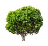 Geïsoleerde boom met groen blad op witte achtergrond Stock Afbeelding