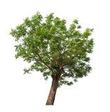Geïsoleerde boom met groen blad op witte achtergrond Stock Foto