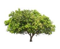 Geïsoleerde boom met groen blad op witte achtergrond Stock Foto's