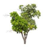 Geïsoleerde boom met groen blad op witte achtergrond Royalty-vrije Stock Foto