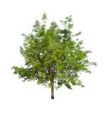 Geïsoleerde boom met groen blad op witte achtergrond Royalty-vrije Stock Afbeelding