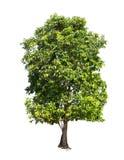 Geïsoleerde boom met groen blad op witte achtergrond Royalty-vrije Stock Foto's