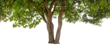 Geïsoleerde boom met groen blad op witte achtergrond Stock Fotografie