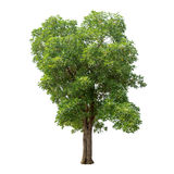 Geïsoleerde boom met groene bladeren op witte achtergrond Royalty-vrije Stock Foto