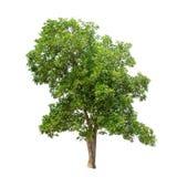 Geïsoleerde boom met groene bladeren op witte achtergrond Royalty-vrije Stock Afbeeldingen