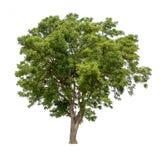 Geïsoleerde boom met groene bladeren op witte achtergrond Stock Foto's