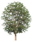 Geïsoleerde boom op wit royalty-vrije stock foto's
