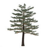 Geïsoleerde boompijnboom. Pinus Stock Fotografie
