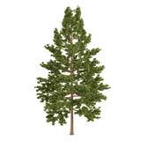 Geïsoleerde boompijnboom. Pinus strobus Stock Fotografie