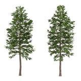 Geïsoleerde boompijnboom. Pinus sylvestris Royalty-vrije Stock Foto's