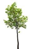 Geïsoleerde boomtak royalty-vrije stock afbeeldingen