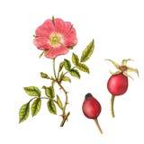 Geïsoleerde botanische illustratie van briar Stock Fotografie