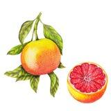 Geïsoleerde botanische illustratie van grapefruit royalty-vrije illustratie