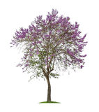 Geïsoleerde Bungor-boom of Tabak-boom met purpere bloemen op witte achtergrond Royalty-vrije Stock Afbeelding