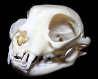 Geïsoleerde Cat Skull Felis-catus stock foto's