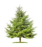 Geïsoleerde cederboom Stock Foto's