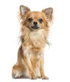 Geïsoleerde Chihuahuazitting, Royalty-vrije Stock Foto's