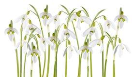 Geïsoleerde de bloem van het sneeuwklokje royalty-vrije stock afbeeldingen