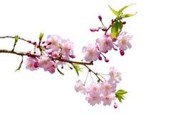 Geïsoleerde de bloem van volledige bloeisakura Stock Foto's