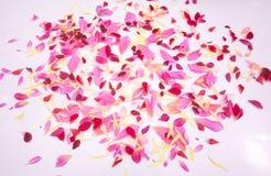 Geïsoleerde de bloemen van dahliabloemblaadjes Royalty-vrije Stock Foto