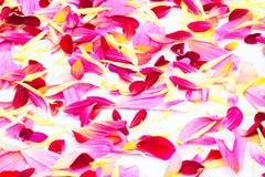 Geïsoleerde de bloemen van dahliabloemblaadjes Royalty-vrije Stock Afbeeldingen