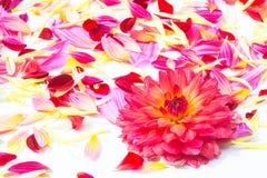 Geïsoleerde de bloemen van dahliabloemblaadjes Royalty-vrije Stock Afbeelding