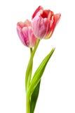 Geïsoleerde de Bloemen van tulpensalmon pink red orange tulip stock afbeeldingen