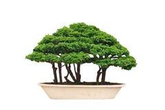 Geïsoleerde de boom van de bonsai Stock Afbeelding