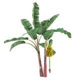 Geïsoleerde de boom van de palminstallatie. Musa acuminatabanaan Stock Foto's