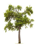 Geïsoleerde de boom van de pruim Stock Afbeeldingen
