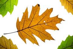 Geïsoleerde de herfstbladeren Stock Foto's