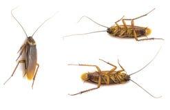 Geïsoleerde de inzameling van de close-upkakkerlak Stock Afbeeldingen