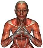 Geïsoleerde de Mensenanatomie van de spierkaart Stock Afbeelding