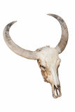 Geïsoleerde de Schedel van de stier Stock Afbeelding