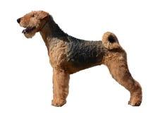 Geïsoleerde de tribune van Airedale Terrier Stock Foto