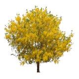 Geïsoleerde doucheboom met gele bloemen op witte achtergrond Stock Afbeeldingen