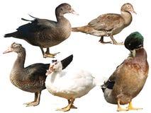 Geïsoleerde eenden verschillende rassen Stock Afbeelding