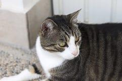 Geïsoleerde Europese kat met een oogontsteking stock fotografie