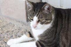 Geïsoleerde Europese kat met een oogontsteking stock afbeelding
