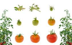 Geïsoleerde evolutie van rode tomaat royalty-vrije stock afbeelding