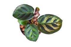 Geïsoleerde exotische tropische het Gebedinstallatie van Calathea Makoyana met mooi patroon in pot met hydrocultuur op witte back royalty-vrije stock afbeeldingen