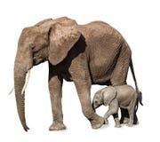 Geïsoleerde familie van olifanten royalty-vrije stock afbeeldingen