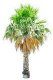Geïsoleerde filifera van palmwashingtonia Royalty-vrije Stock Fotografie