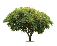 Geïsoleerde frangipani of plumeriaboom op witte achtergrond Royalty-vrije Stock Foto
